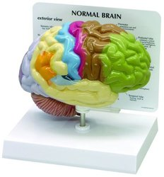 Lake Forest Human Brain Anatomical Model - Half Brain