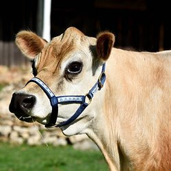 Perri's Mini Nylon Cow Halter, Navy Ribbon, Size 4