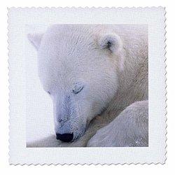 Polar Bear Sleeping - Closeup.(Ursus Maritimus).Churchill, Canada - Quilt Square, 12 by 12-Inch (qs_45691_4)