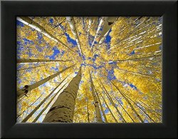 Art Quaking Aspen Grove in Fall Framed Photographic Print - Yellow
