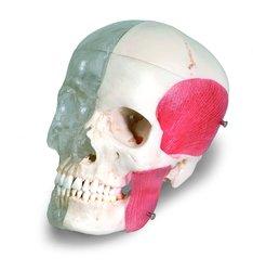 """3B Scientific 8 Part Bonelike Human Bony Skull Model - 6.3"""" x 5.5"""" x 8.1"""""""