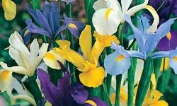 Pre-order: Mixed Dutch Iris 50 Pack