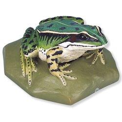 3B Scientific VN704/2 Female Edible Frog Rana Esculenta
