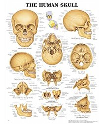 "Set of 25 The Human Skull Charts 11x14"" Inches"